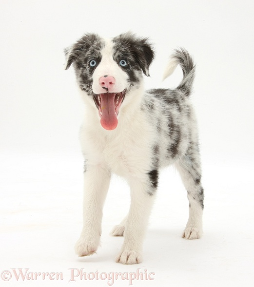 Blue merle Border Collie puppy, Reef, 10 weeks old, standing, white background