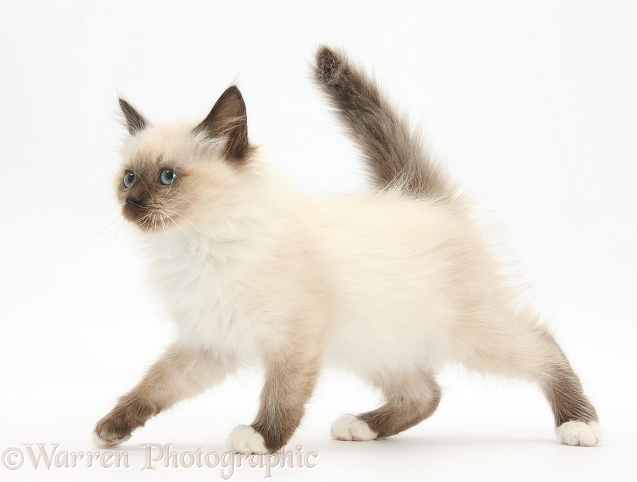 Birman-cross kitten walking across