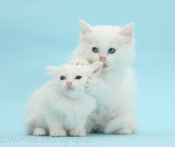 White Maine Coon-cross kittens