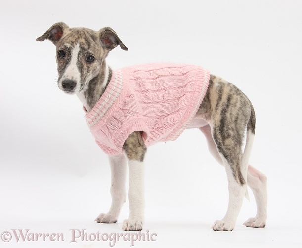 Brindle-and-white Whippet pup, Cassie, 9 weeks old, wearing a pink jersey, white background
