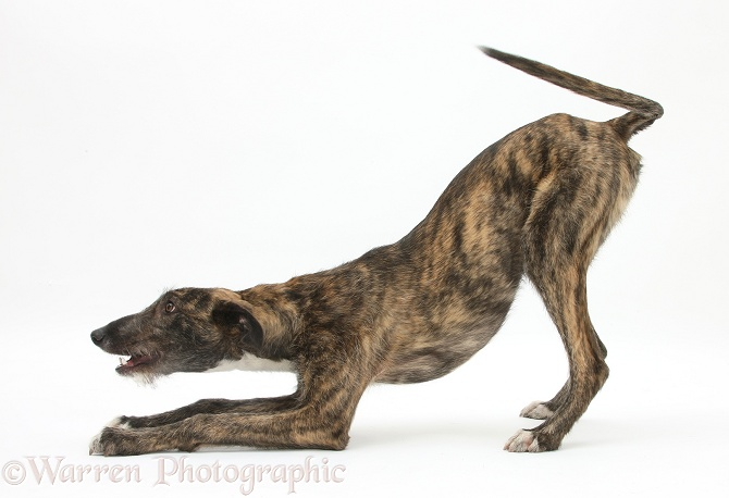 Brindle Lurcher dog, Kite, in play-bow, white background