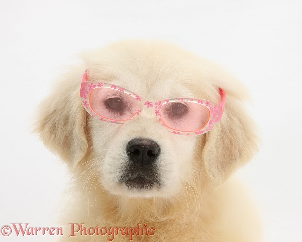 Yellow Labrador Retriever pup, Daisy, 16 weeks old, wearing a child's pair of rose tinted sunglasses, white background