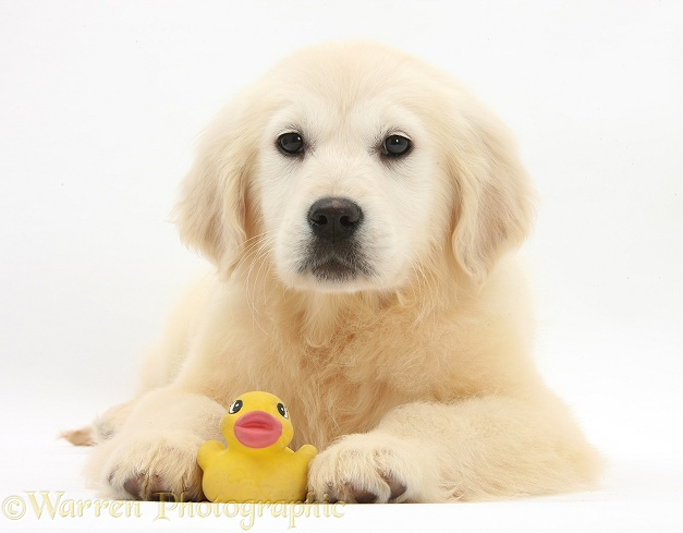 Yellow Labrador Retriever pup with yellow bath duck