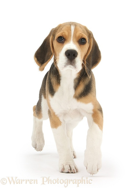 Beagle pup trotting