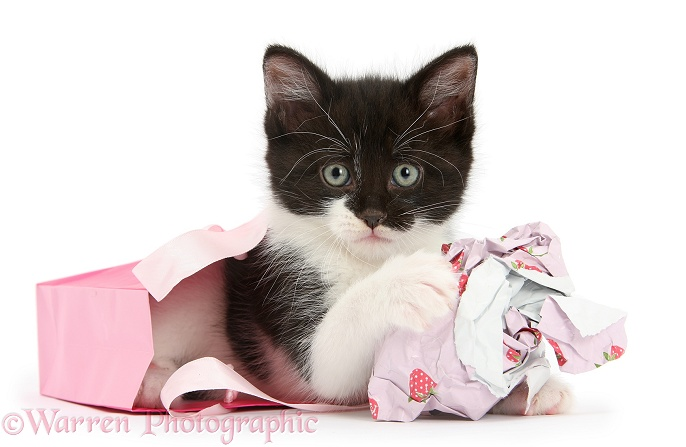 Black-and-white kitten playing with gift bag and wrapping paper, white background