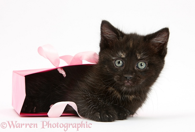 Black kitten in a pink gift bag, white background