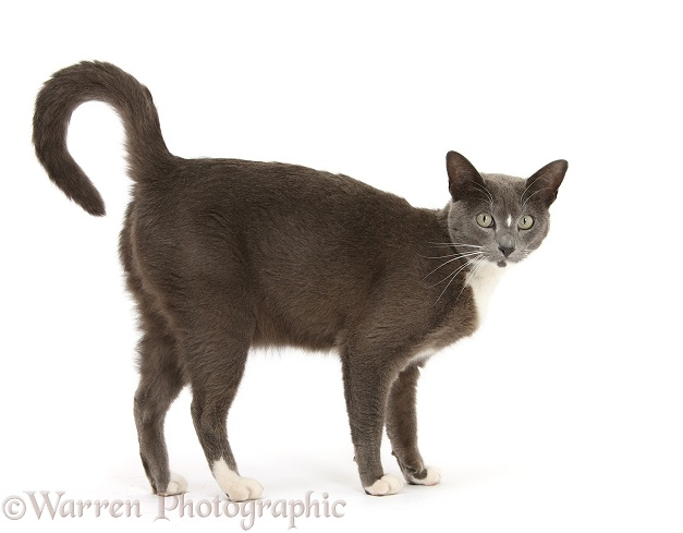 Blue-and-white Burmese-cross cat, Levi, standing, with arched back, white background