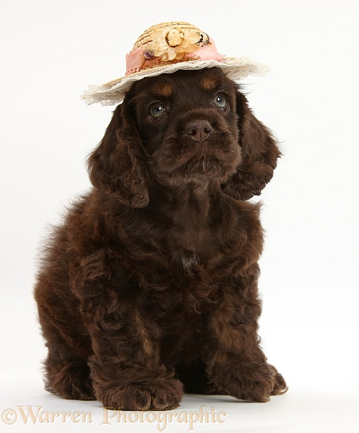 American Cocker Spaniel pup sitting, wearing straw hat, white background