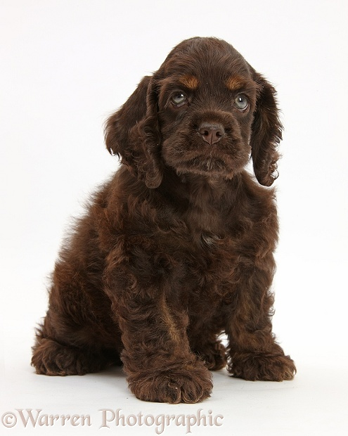 American Cocker Spaniel pup sitting, white background