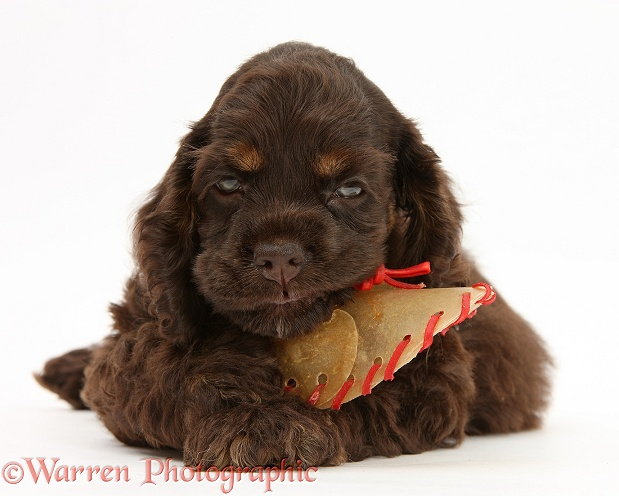 American Cocker Spaniel pup chewing a rawhide shoe, white background
