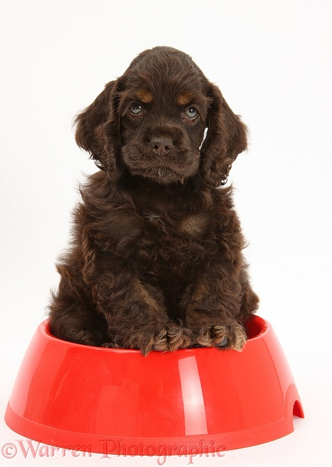 American Cocker Spaniel pup sitting in a dog bowl, white background
