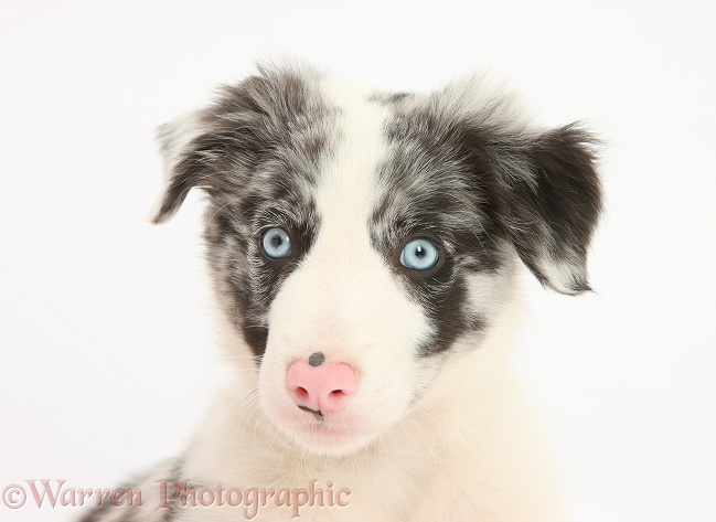 Blue merle Border Collie puppy, Reef, 9 weeks old, white background