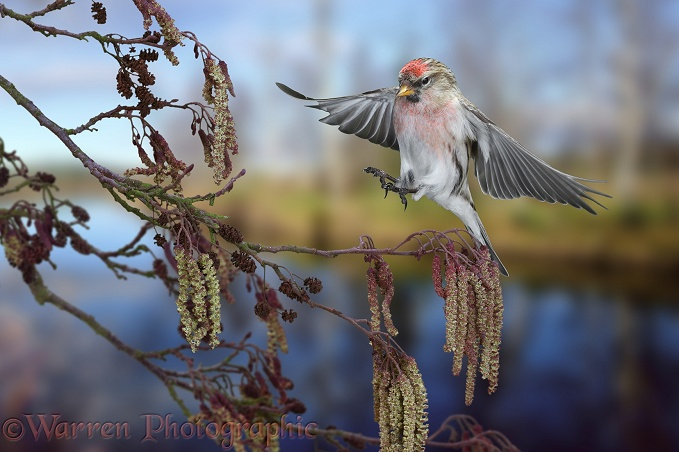 Redpoll (Carduelis flammea) male about to alight on Alder.  Europe & Asia
