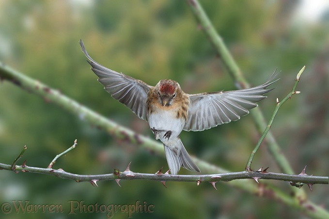 Redpoll (Carduelis flammea) female about to alight on briar.  Europe & Asia
