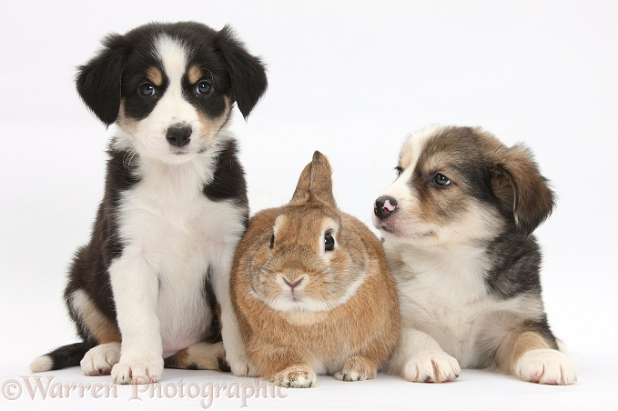 Border Collie pups, 6 weeks old, and Sandy Netherland-cross rabbit, Peter, white background