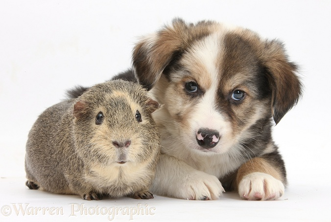 Border Collie pup, 6 weeks old, and Guinea pig, white background