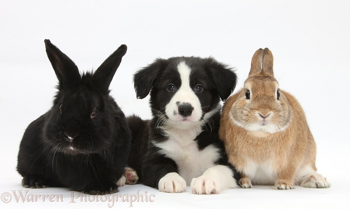 Black-and-white Border Collie pup with black rabbit and Sandy Netherland-cross rabbit, Peter, white background