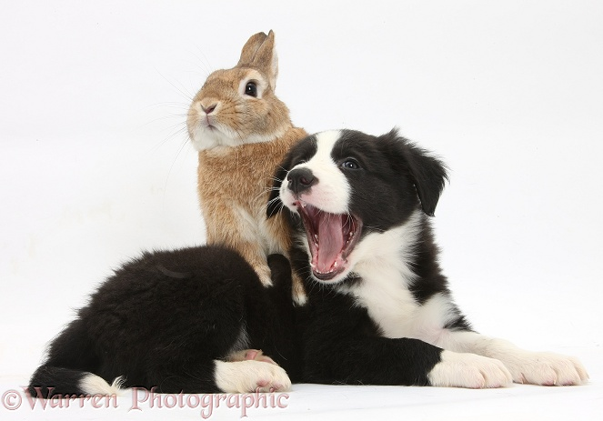 Black-and-white Border Collie pup and Sandy Netherland-cross rabbit, Peter, white background