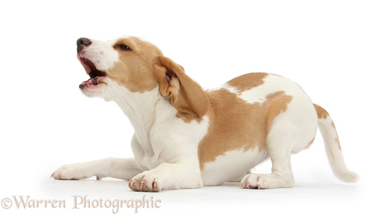 Orange-and-white Beagle pup barking in play-bow, white background