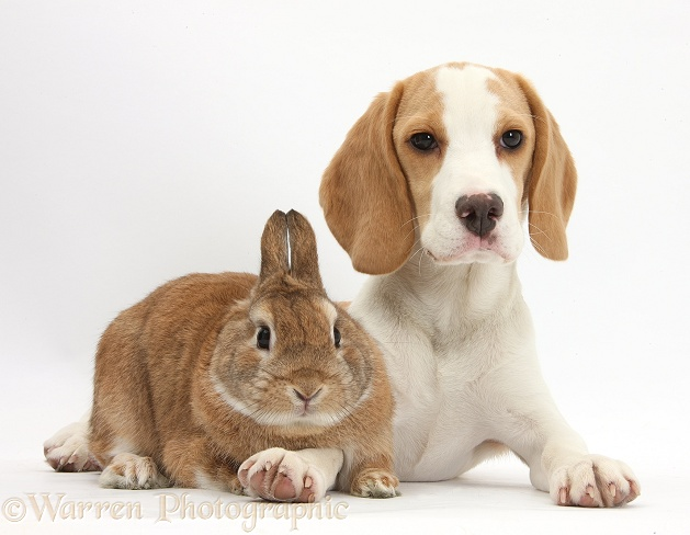 Orange-and-white Beagle pup and Sandy Netherland-cross rabbit, Peter, white background