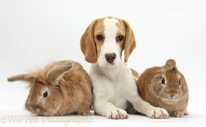 Orange-and-white Beagle pup and two rabbits, white background