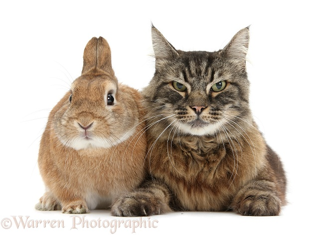 Elderly Tabby Manx x Turkish Van cat, Jack, 13 years old, with Sandy Netherland-cross rabbit, Peter, white background