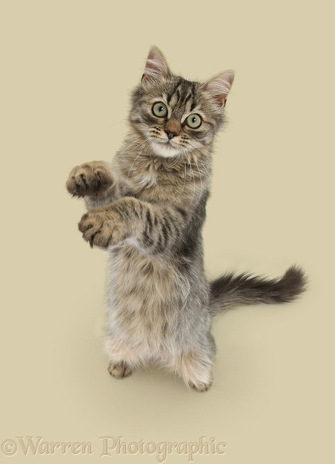 Tabby kitten, Beebee, 5 months old, standing up with raised paws, white background