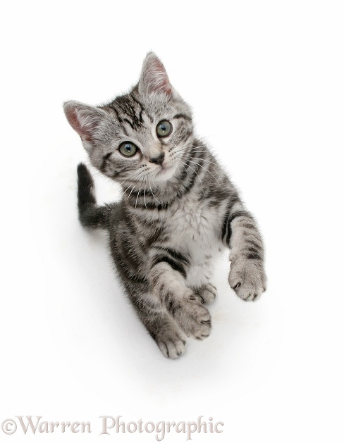 Silver tabby kitten reaching up