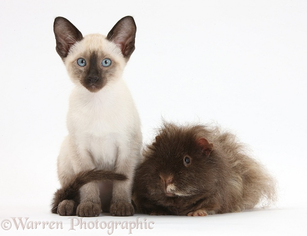 Shaggy Guinea pig and Siamese kitten, 10 weeks old