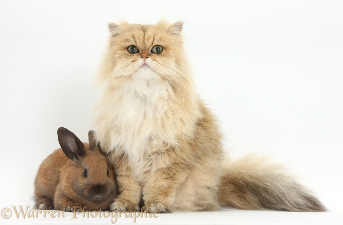 Golden Chinchilla Persian female cat, Jazzy, 6 years old, with young rabbit, white background