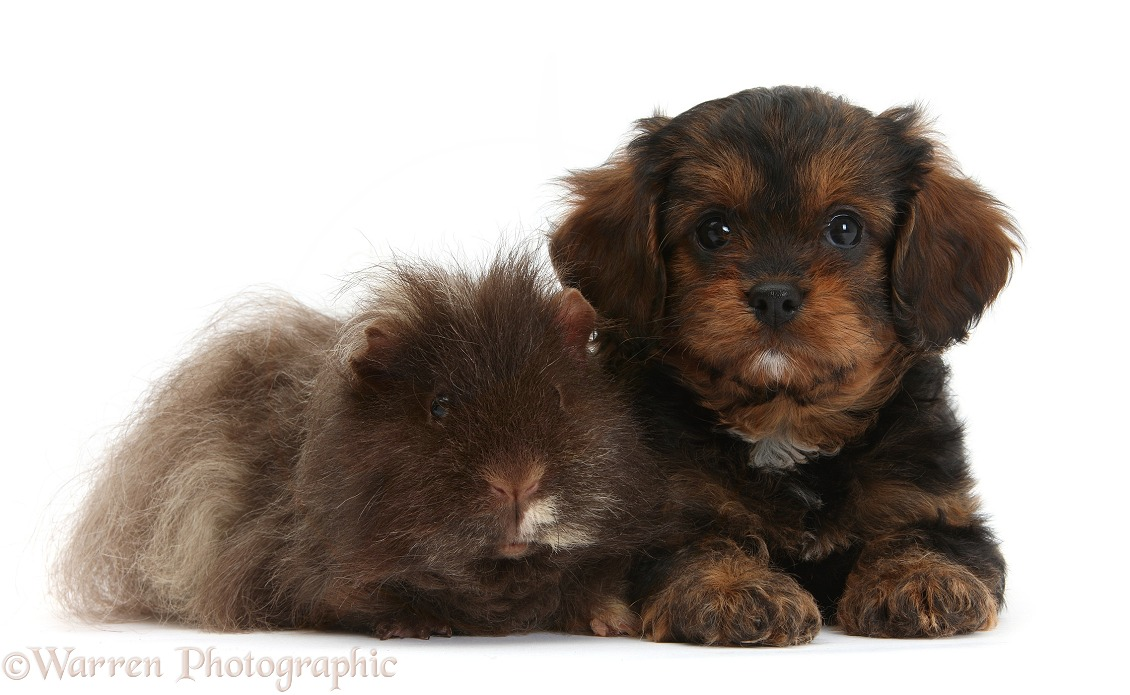 Cavapoo pup and shaggy Guinea pig