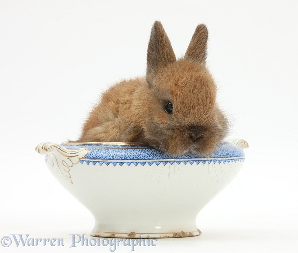 Baby Netherland dwarf-cross rabbit in a china bowl, white background