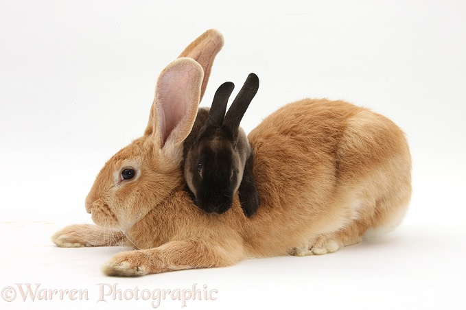 Flemish Giant Rabbit, Toffee, with sooty Rex rabbit, white background