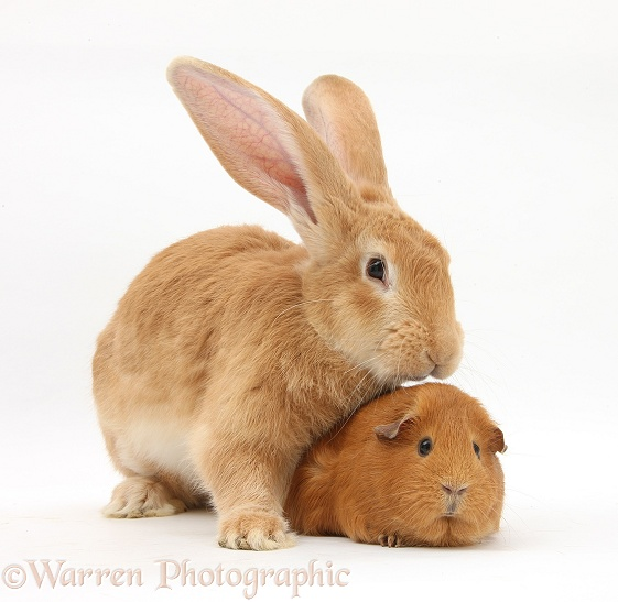 Flemish Giant Rabbit, Toffee, with red Guinea pig, white background