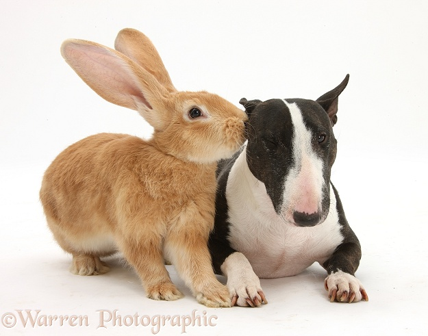 Flemish Giant rabbit, Toffee, and Miniature Bull Terrier bitch, Lily, white background