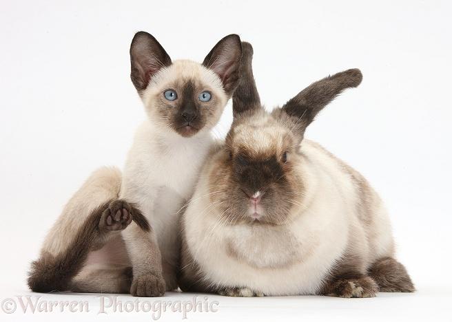 Siamese Cats As Pets