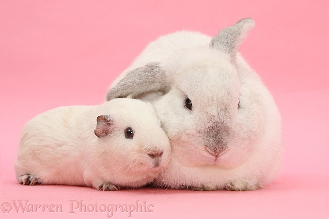 pets white guinea pig and white rabbit on pink background