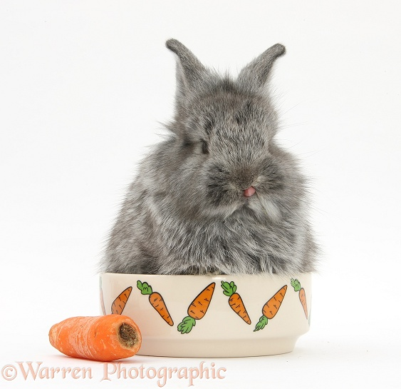 Young Silver Lionhead rabbit in a food bowl with carrot