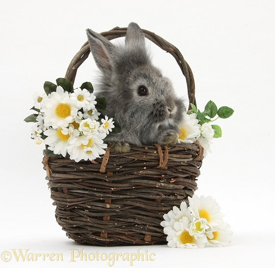 Young Silver Lionhead rabbit in a basket with flowers, white background