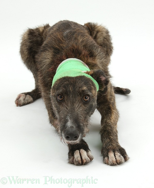 Brindle Lurcher, Kite, wearing a bandage after damaging an ear, white background