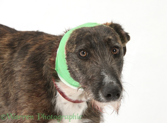 Brindle Lurcher with bandage