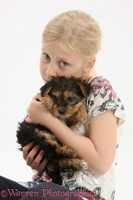 Siena with Yorkshire Terrier pup, 7 weeks old, white background