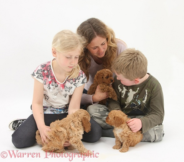 Miriam, Siena and Leon with Cockapoo puppies, 7 weeks old, white background