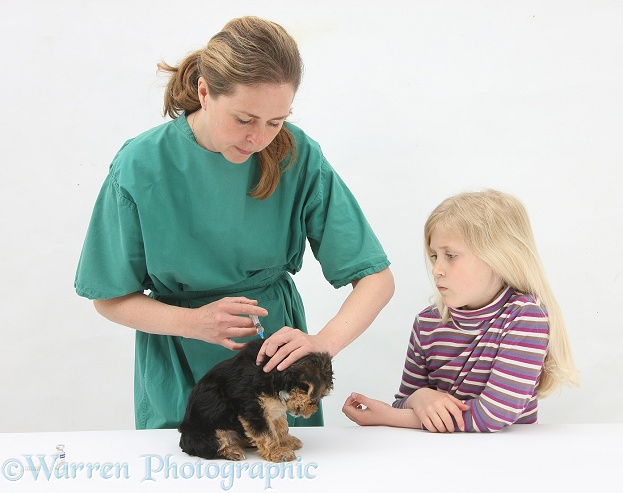 Vet giving a Yorkie pup its primary vaccination