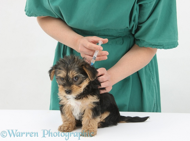Vet giving a Yorkshire Terrier pup its primary vaccination, white background