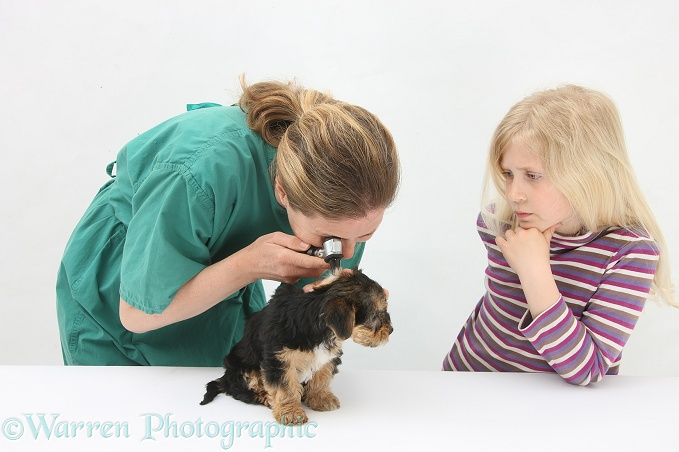 Vet using an otoscope to examine a Yorkshire Terrier pup's ear, white background