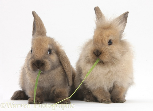 Young sandy rabbits sharing eating grass, white background