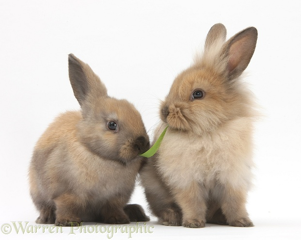 Young sandy rabbits sharing a piece of grass, white background