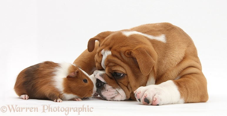 Bulldog pup, 11 weeks old, face-to-face with Guinea pig, Amelia, white background
