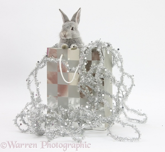 Two baby silver rabbits in a gift bag with Christmas tinsel, white background
